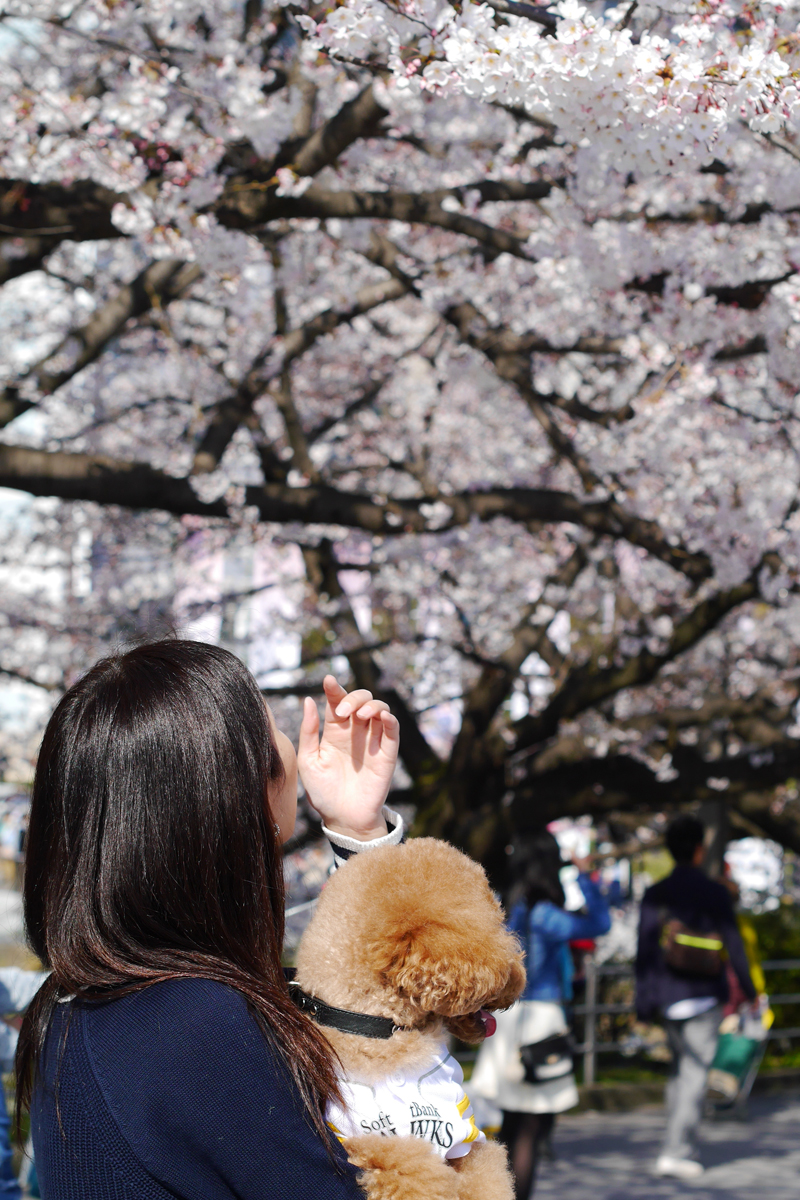 Cherry blossoms at Maizuru park