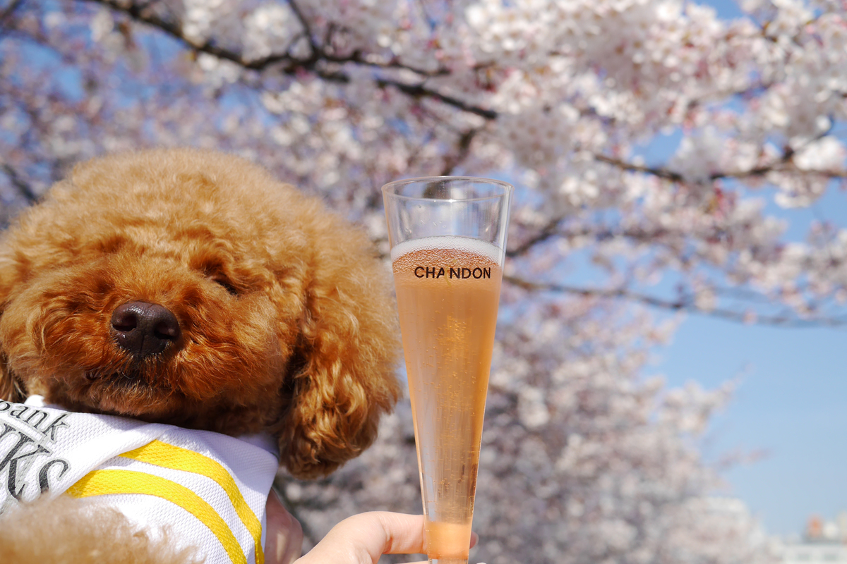 Cherry blossoms and Chandon at Maizuru park