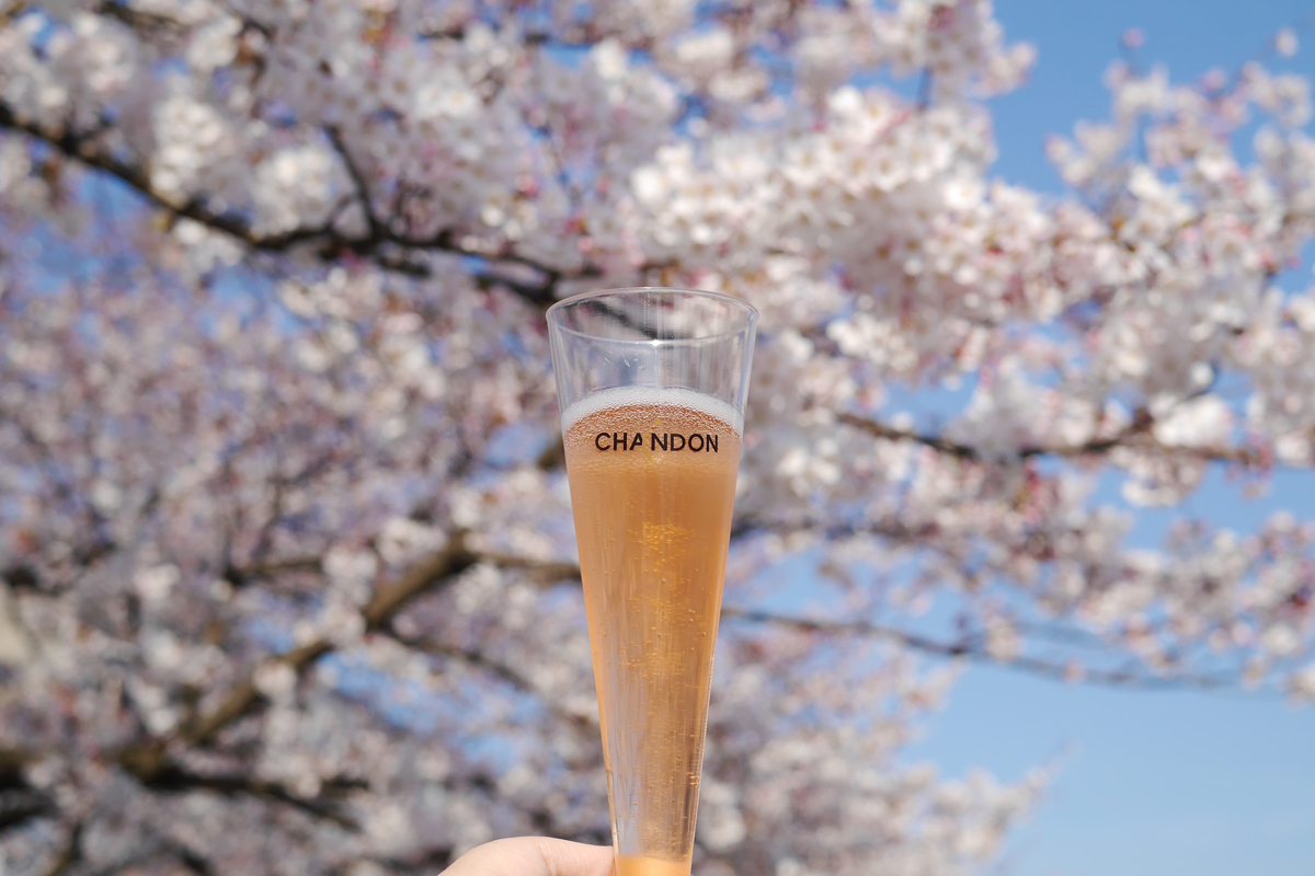 Cherry blossoms and Chandon Rose at Maizuru park