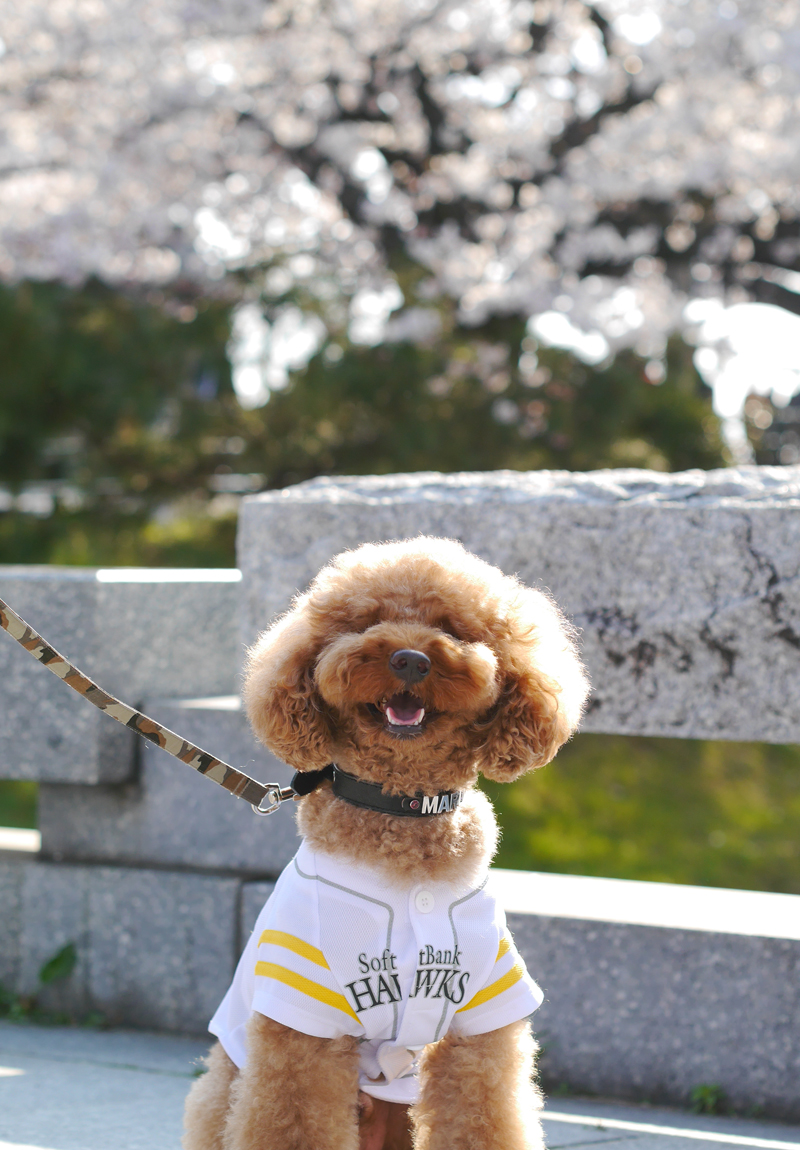 Cherry blossoms and dog at Maizuru park