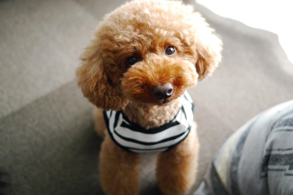 Marukichi Toy Poodle