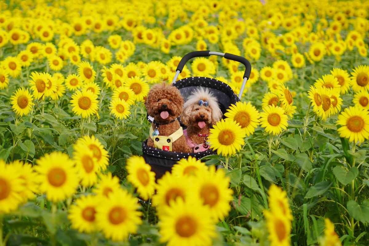 Sunflowers in full bloom 満開のひまわり 脇山ひまわり畑